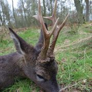 oe buck stalking summer holiday in scotland