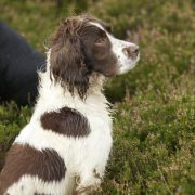 spaniel grouse shooting