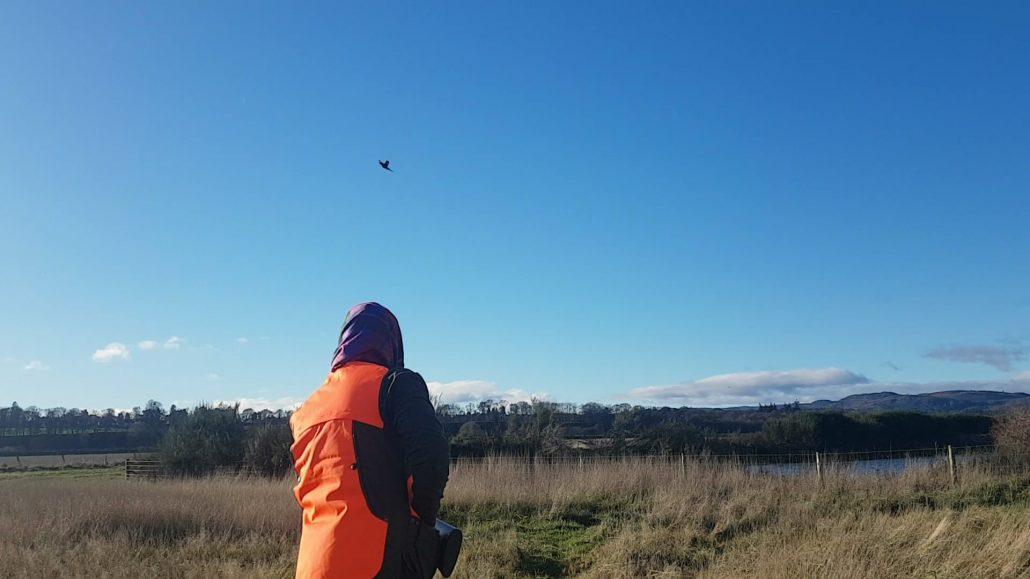 pheasant flies over wingshooting