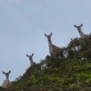 red deer hind stalking scotland