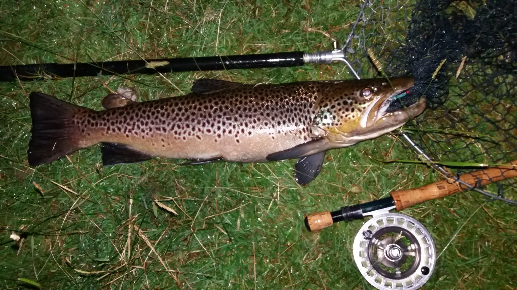 sea trout fishing (accidental brown trout)