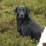 Scottish Labrador