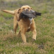 grouse over dogs in Scotland