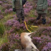 fallow buck scotland